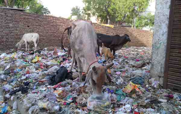 Swachh Bharat: Stray cattle grazing on an open site full of rubbish near a housing colony in Delhi. Photo: Rakesh Raman