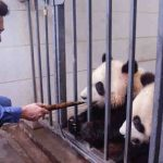 Bollywood Actor Aamir Khan Meets Giant Pandas in Sichuan